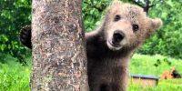 Medvedova uspavanka
